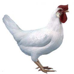 مرغ لگهورن