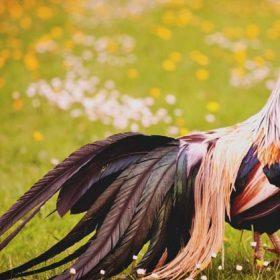 مرغ فونیکس (ققنوس): پرنده ای با دم بلند نمایشی